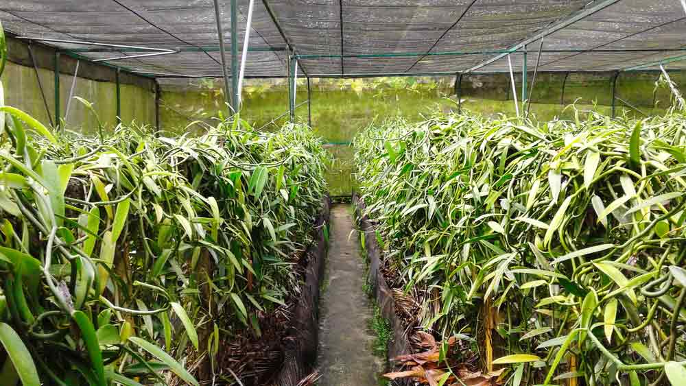 Vanille plantation tropical gaden, Moorea island